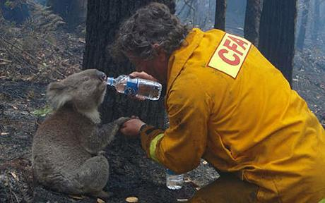 AUSTRALIA-FIRES/KOALAS