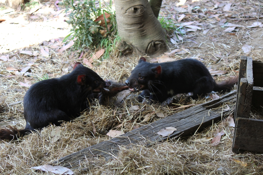 Tasmanian Devils fighting  over a slice of meat